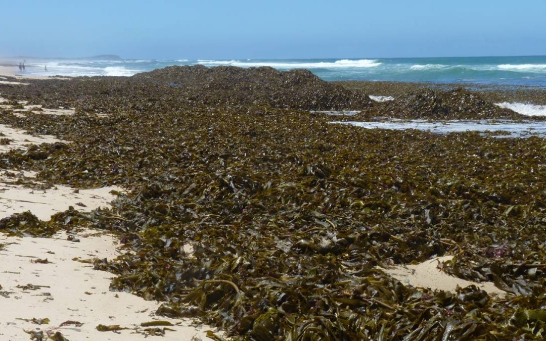 Volume of accumulated kelp unprecedented
