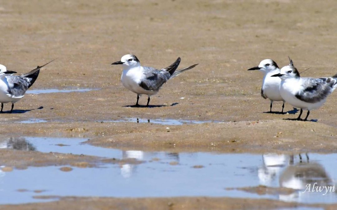 Very rare terns from Alaska spotted at Mudbishops